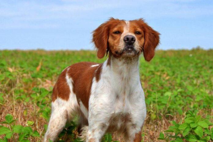 cane-Breton Spaniel-investito-auto-condannato