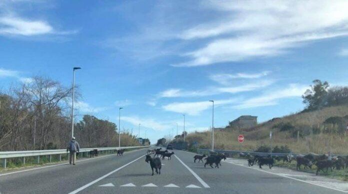 capre-strada-statale-106-ionica
