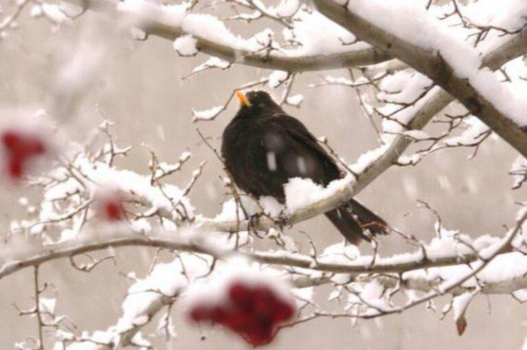 """29, 30 e 31 Gennaio sono noti come """"i giorni della merla"""", ovvero i giorni più freddi dell'anno!"""