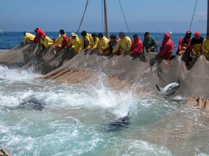 quote pesca tonno rosso penalizzano la calabria