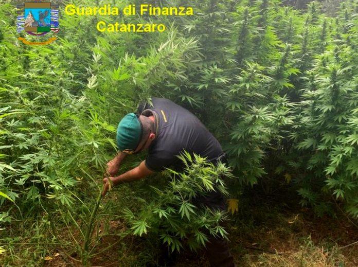 sequestro piantagione cannabis lametino