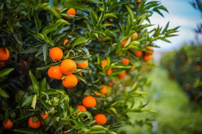 clementine calabresi alla coop