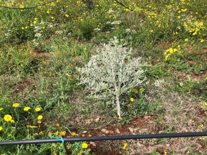 alberi ulivo distrutti