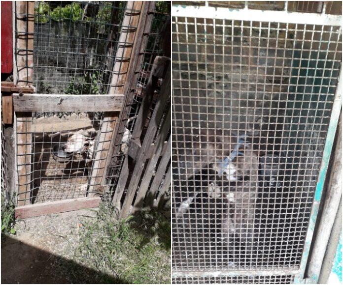 sequestrato allevamento di cani da combattimento