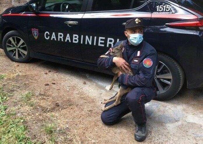 carabinieri salvataggio capriolo