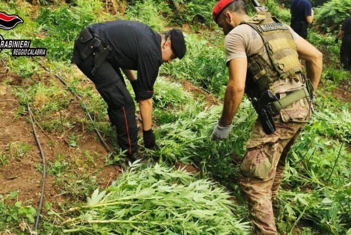 cinquefrondi piantagione marijuana