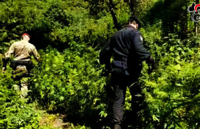 piantagione marijuana aspromonte