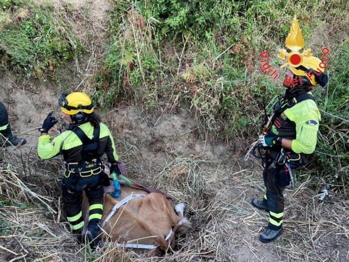 salvataggio bovino vigili del fuoco