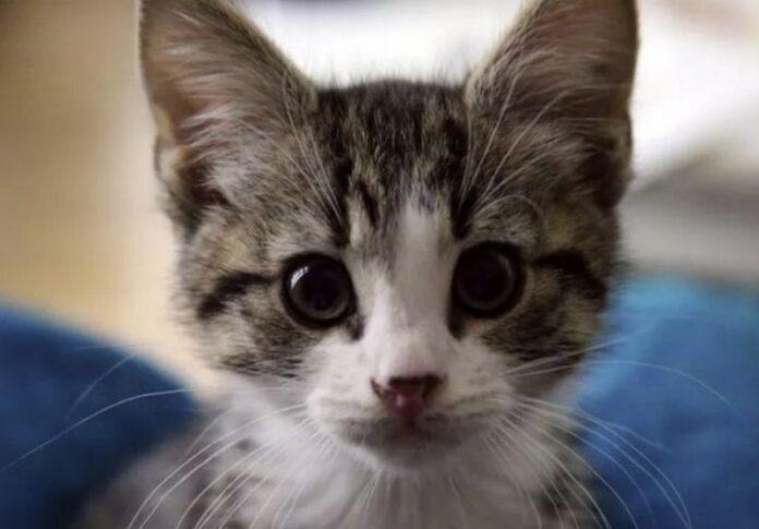 gattina adottata