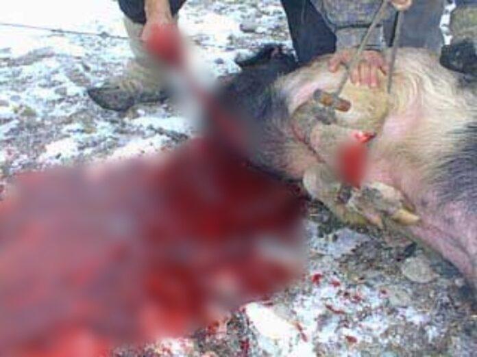 maiale ucciso in piazza a Cosenza