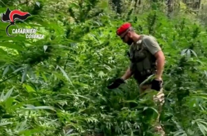 piante marijuana cetraro