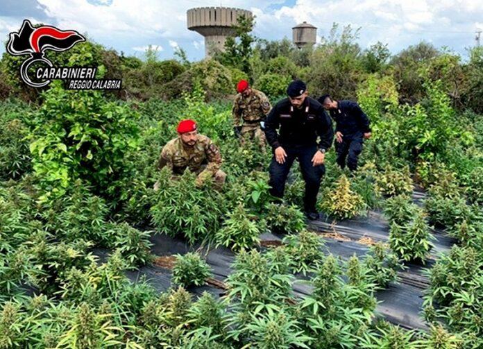 rizziconi piante marijuana