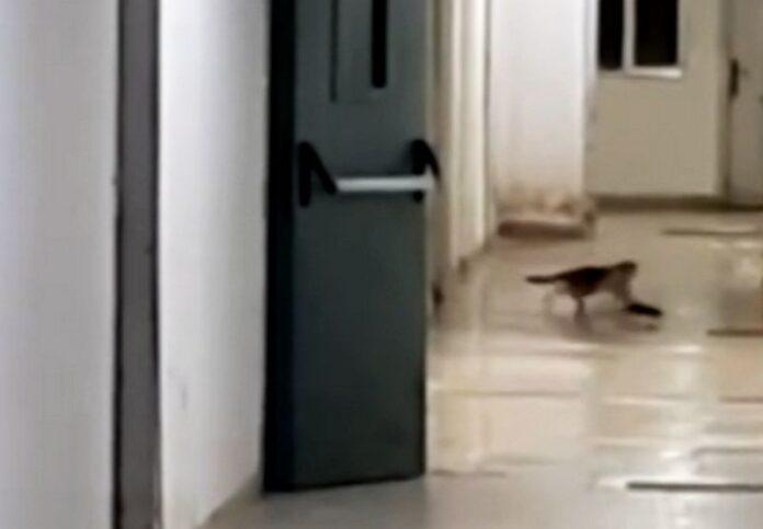 gatto topo ospedale paola